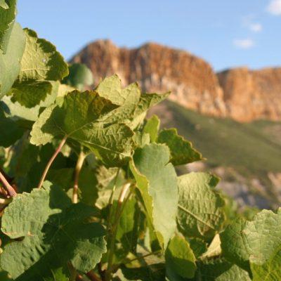 vigne-cassis